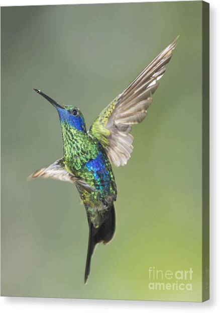 Sparkling Violet-ear Hummingbird Canvas Print