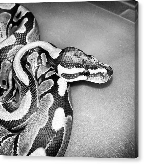 Pythons Canvas Print - Sparky  #ballpythonsofinstagram by Preston Poole
