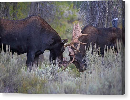 Canvas Print featuring the photograph Sparring Moose by Jean Clark