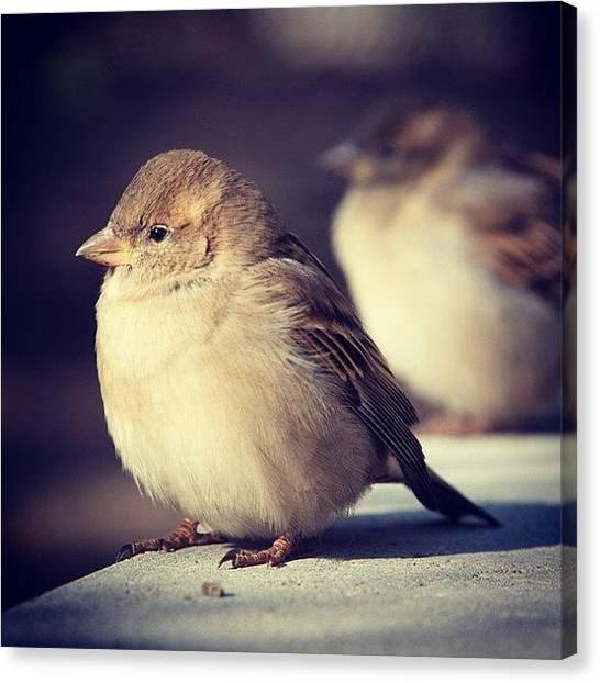 Sparrows Canvas Print - #sparrow #chubby #toronto #cute #canada by Bruce Wang