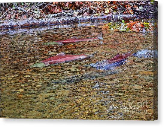 Spawning Sockeyes Canvas Print