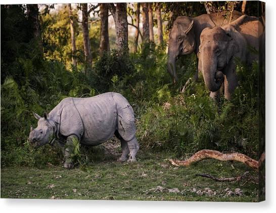 Rhinos Canvas Print - Special Meeting by Pavol Stranak
