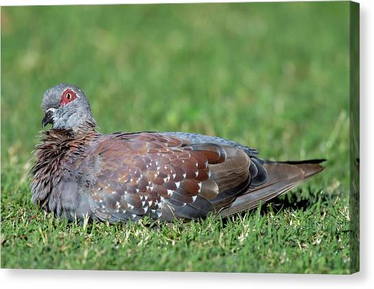 Speckled Pigeon Canvas Print by Peter Chadwick/science Photo Library
