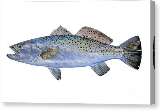 Saltwater Life Canvas Print - Speckled Trout by Carey Chen