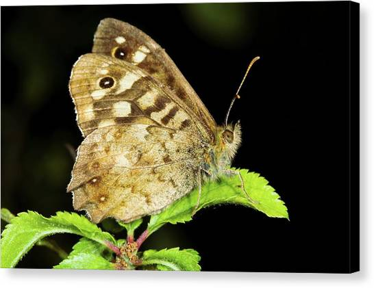 Speckled Wood Butterfly Canvas Print by John Devries/science Photo Library