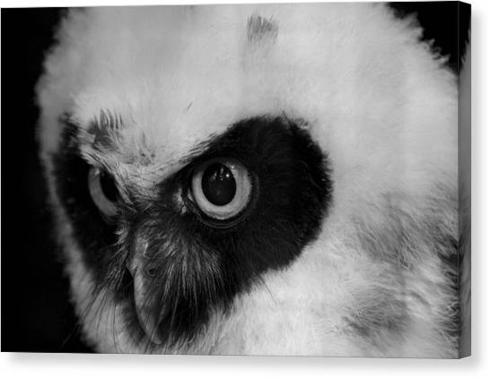 Spectacled Owl Canvas Print by Simon Gregory