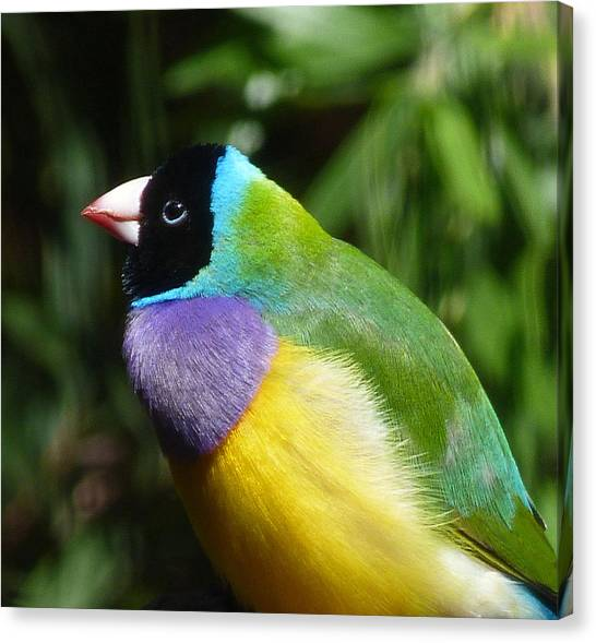 Spectacular Gouldian Finch Canvas Print