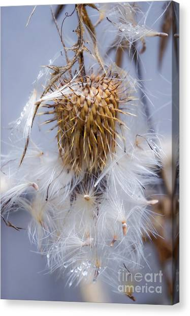 Spent Thistle Canvas Print