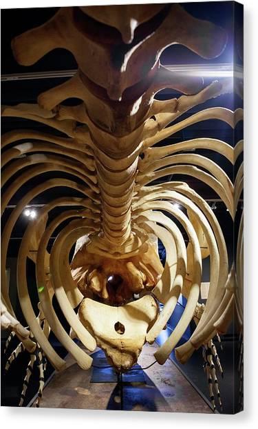 Sperm Whales Canvas Print - Sperm Whale Skeleton Display by Thomas Fredberg