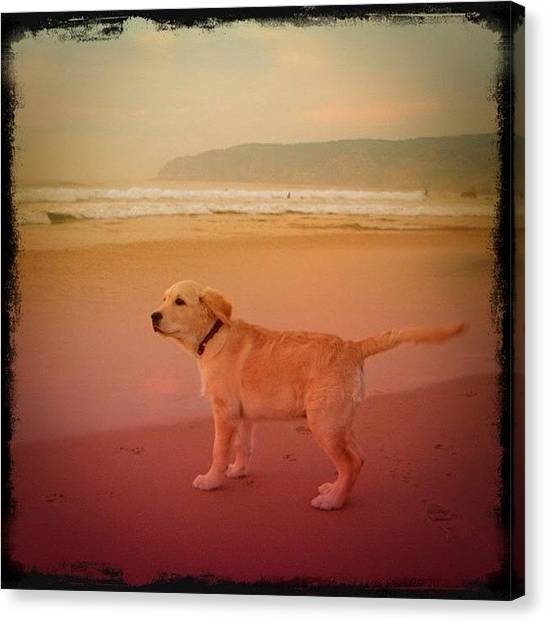 Labrador Retrievers Canvas Print - Spi @ Guincho Beach by Pedro Miranda