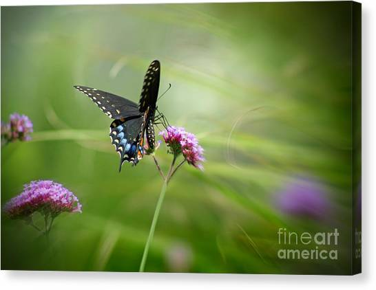 Spicebush Swallowtail Butterfly Canvas Print