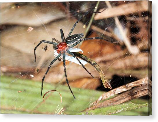 Spider Web Canvas Print - Spider Eating Moth by Dr Morley Read