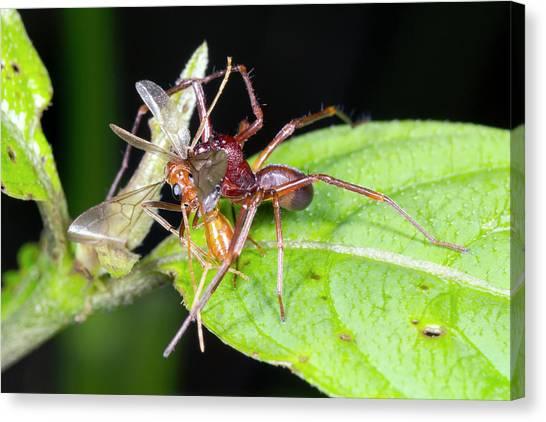 Ecuadorian Canvas Print - Spider Feeding On A Flying Ant by Dr Morley Read