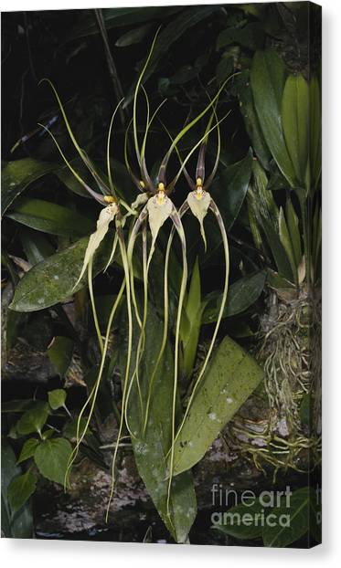 Monteverde Canvas Print - Spider Orchid by Gregory G. Dimijian, M.D.