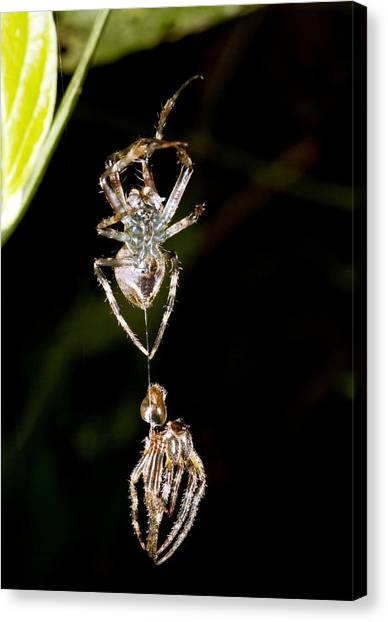 Amazon Rainforest Canvas Print - Spider Shedding Its Skin by Science Photo Library