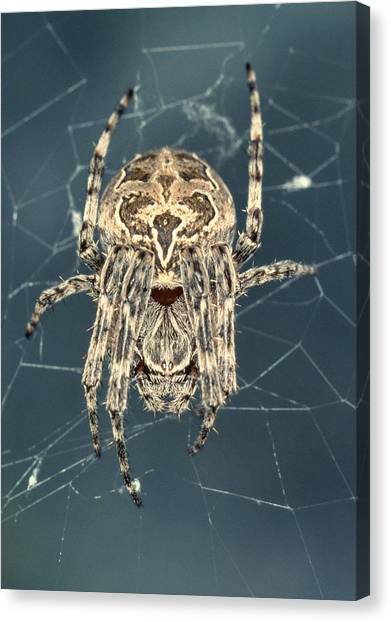 Spider Canvas Print by Sinclair Stammers/science Photo Library