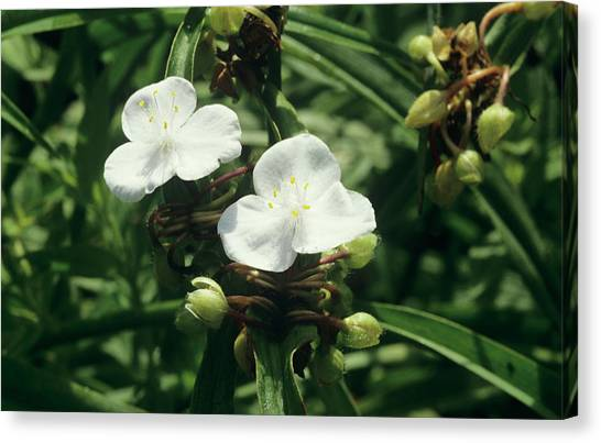 Spiderwort 'pauline' Canvas Print by Sally Mccrae Kuyper/science Photo Library