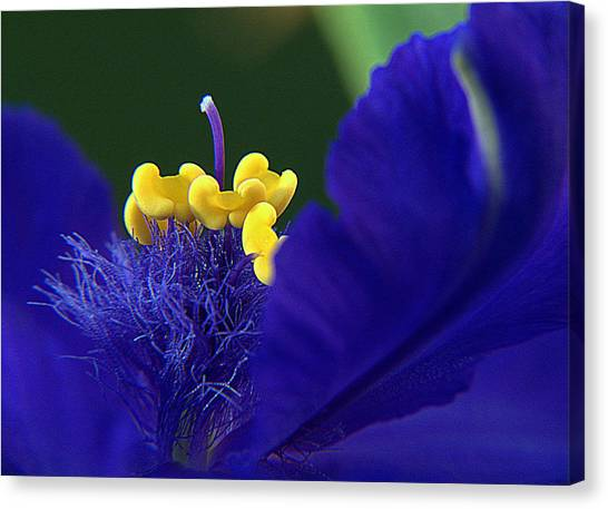 Spiderwort Up Close Canvas Print