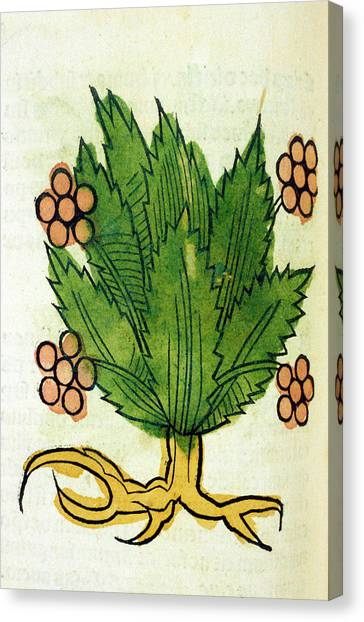 Spikenard Medicinal Plant Canvas Print by National Library Of Medicine