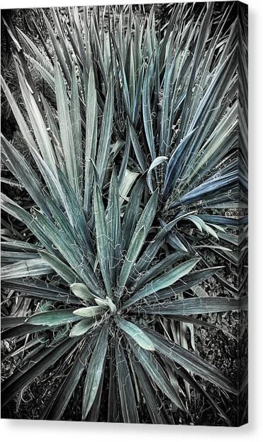 Spiky Blue-green Plant Canvas Print