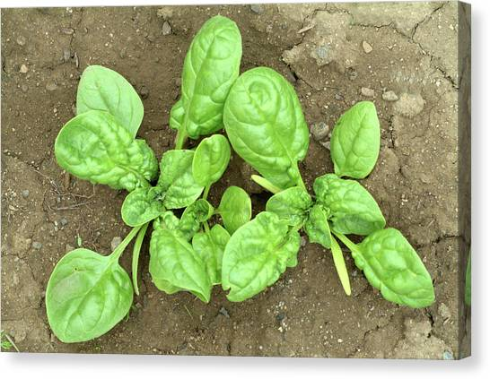 Spinach Canvas Print - Spinach Plants by Bildagentur-online/th Foto/science Photo Library