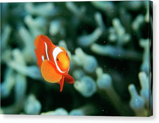 Kimbe Bay Canvas Print - Spinecheek Anemonefish by Matthew Oldfield/science Photo Library