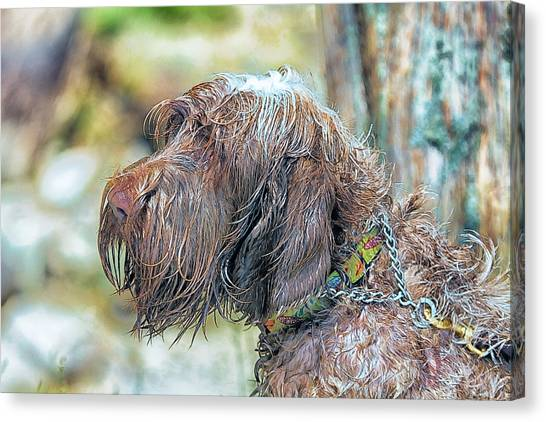 Spinone Canvas Print - Spinone Italiano Italian Wire Haired Pointer by Constantine Gregory