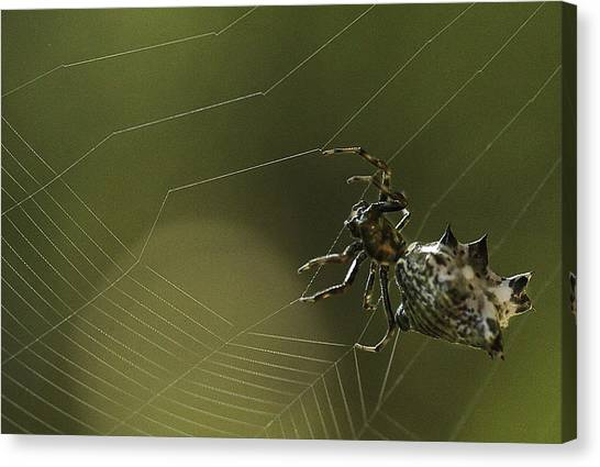 Spiny Backed Orb Weaver Canvas Print