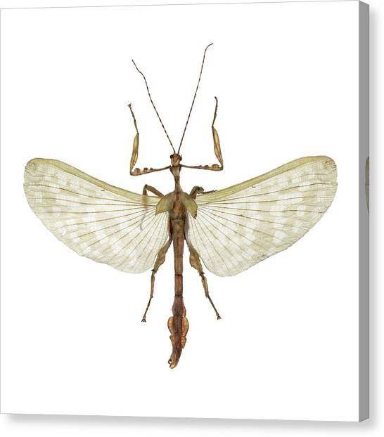Insect Anatomy Canvas Prints | Fine Art America