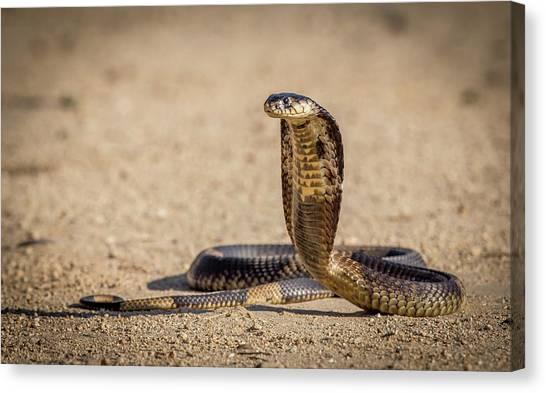 Cobras Canvas Print - Spitting Cobra In Strike Pose. by Jeffrey C. Sink