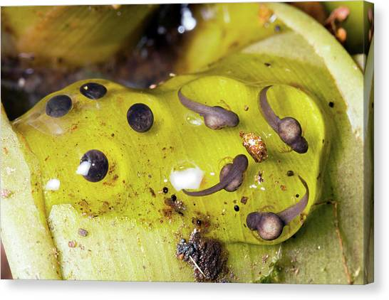 Ecuadorian Canvas Print - Splash-back Poison Frog Eggs by Dr Morley Read