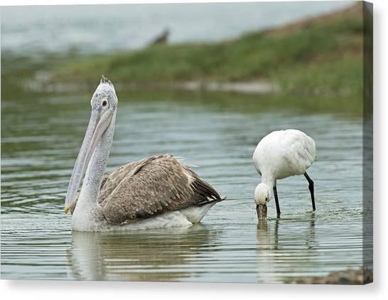 Spoonbills Canvas Print - Spot-billed Pelican & Eurasian Spoonbill by Tony Camacho