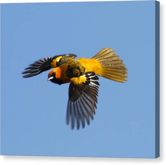 Spot Breasted Oriole In Flight Canvas Print