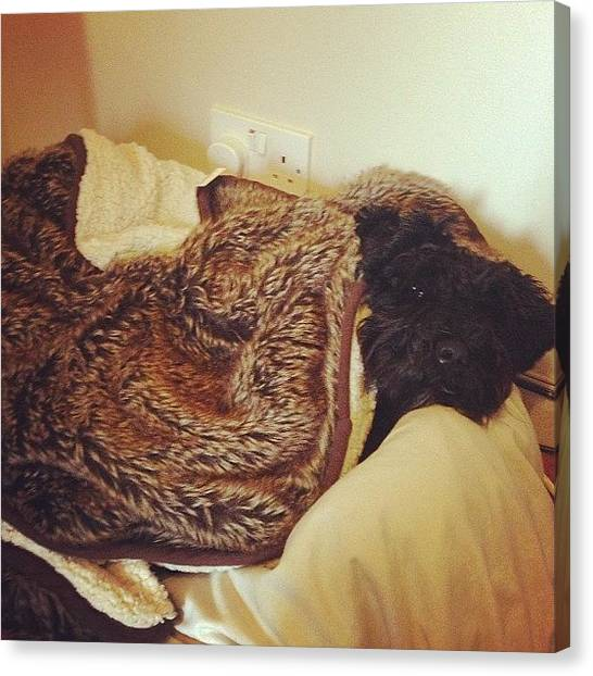 Schnauzers Canvas Print - Spot The Puppies! #snuggled #sleepy by Laurena Pascoe