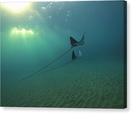 Ocean Life Canvas Print - Spotted Eagle Rays During Sunset by Brad Scott
