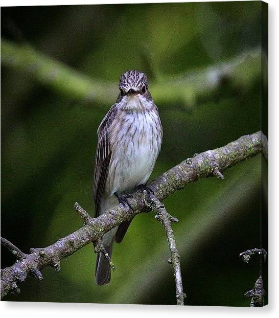 Flycatchers Canvas Print - Spotted Flycatcher. #100daysofnature by Miss Wilkinson