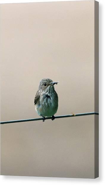 Flycatchers Canvas Print - Spotted Flycatcher by Leslie J Borg/science Photo Library