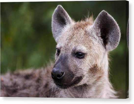Spotted Hyena Canvas Print by Sean McSweeney
