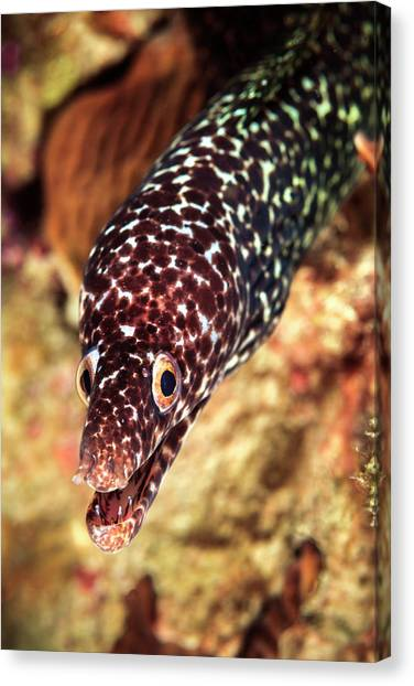 Carribbean Canvas Print - Spotted Moray (gymnothorax Moringa by James White