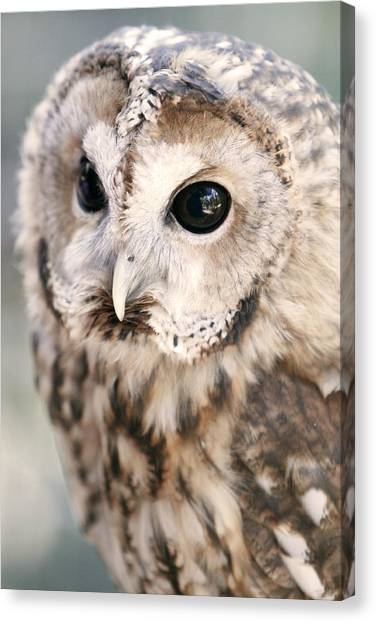 Spotted Owl Canvas Print