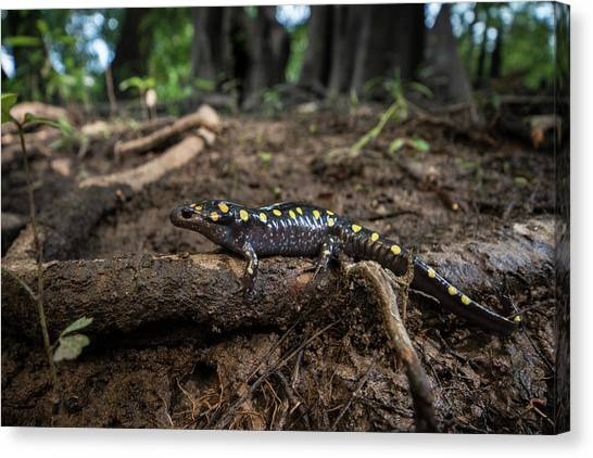 Salamanders Canvas Print - Spotted Salamander (ambystoma Maculatum by Pete Oxford