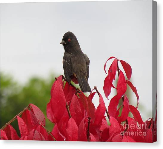 Spotted Towhee In The Rain Canvas Print
