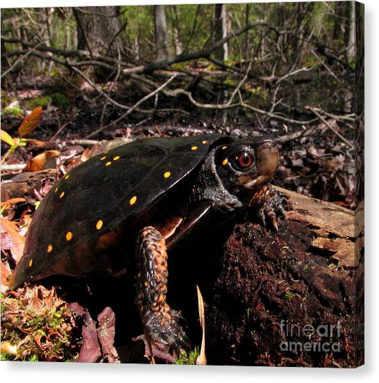 Spotted Turtle Canvas Print