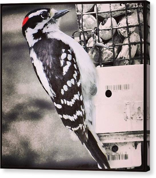 Woodpeckers Canvas Print - Spotted Wood Pecker by Matt Yates