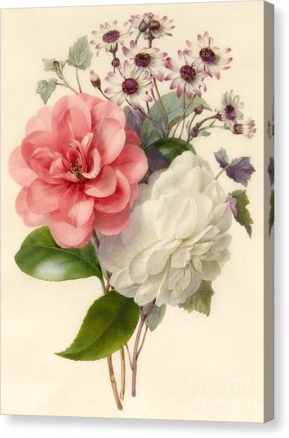 Camellias Canvas Print - Spray Of Three Flowers by Marie Anne