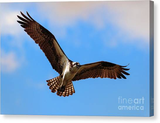 Osprey Canvas Print - Spread Your Wings by Mike  Dawson