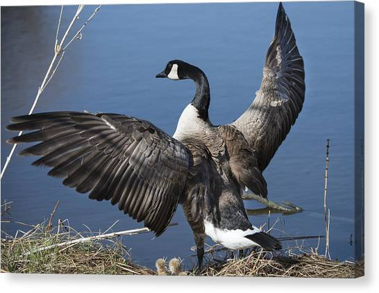 Spreading My Wings... Canvas Print by David Yack