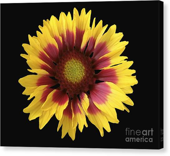 Spring 16 Canvas Print by Shirley Sparks