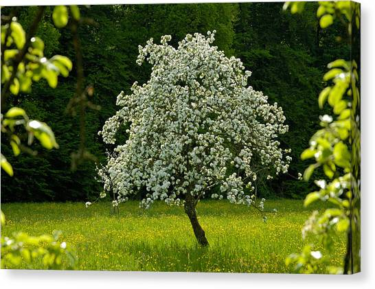 Spring - Blooming Apple Tree And Green Meadow Canvas Print