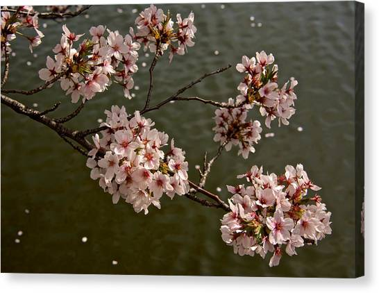 Spring Blossoms Canvas Print by Kathi Isserman
